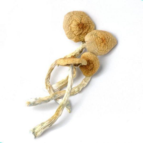Golden Teacher mushrooms dried product