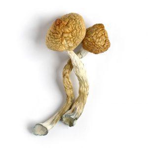 golden teacher mushrooms