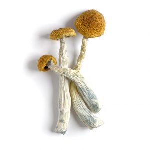 amazonian cubensis mushroom